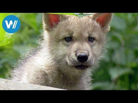 Kurt und seine Wölfe (360° - GEO Reportage)