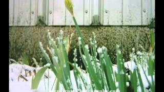 The resilient daffodil ... timelapse