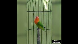 SAKURA | LOVEBIRD BIOLA NGEKEK PANJANG | FIGHTER