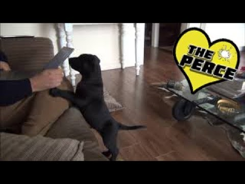 Puppy Labrador 1st Week at Home Destruction and Exploration – Cute