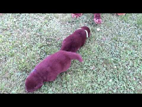 lacies male puppies playing in the yard