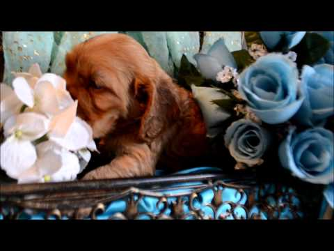 Ruby AKC Female Red Cocker Spaniel Puppy for sale