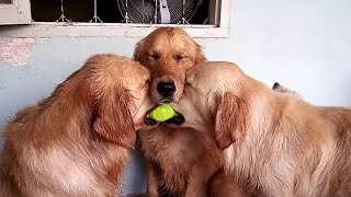Video These golden retrievers will make you laugh your ASS OF - Funny dog compilation MP3, 3GP, MP4, WEBM, AVI, FLV Agustus 2019