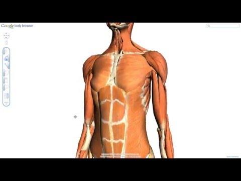 「筋肉、臓器、骨にいたるまで、まさにスケルトン仕様な人体図「Google Body Browser」」のイメージ