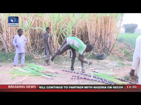 Worrying State Of Sugarcane Harvest in Nigeria  Eyewitness Report 