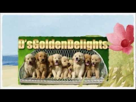 Golden Retriever Puppy Baltimore MD—Ngata Ravens Golden Retriever Puppy Review