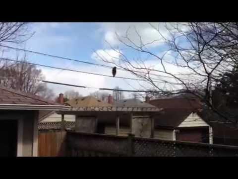 「忍者浣熊」耍神技,高空扶電線一步步前進!