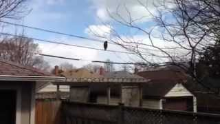 Clever raccoon walking across some phone wires