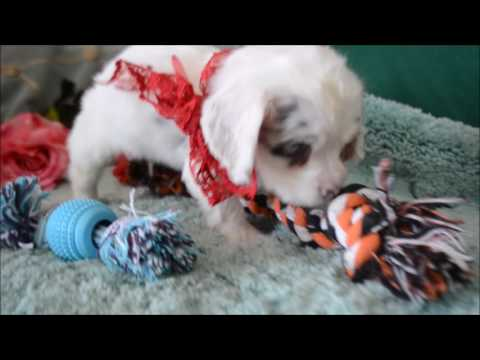 Butter Pecan Blue-Eyes DachshundCocker Puppy for sale