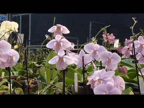 Orchideen Arten: Phalaenopsis - Phal schilleriana