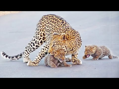 Самка леопарда переводит детей через дорогу. Парк Крюгера, ЮАР