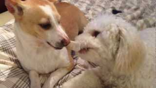 Chihuahua Said To Poodle : Hey Mate, Did I Say Share It?