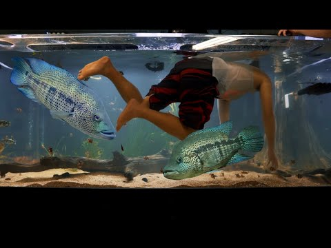 SOME OF THE WORLDS MOST AGGRESSIVE CICHLID FISH