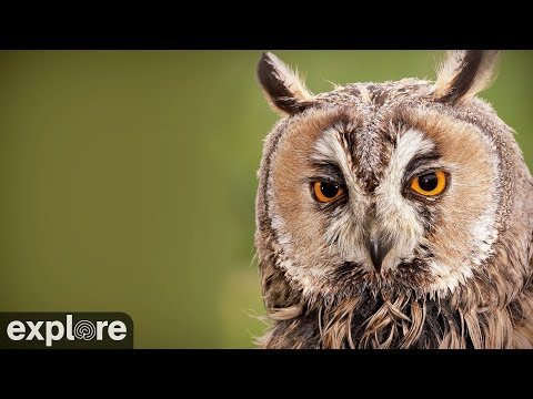Live-Cam: Vögel -  Virginia-Uhu / Great-horned Owl - Ne ...