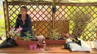 Egynyári növények ültetése balkonládába - Kertbarátok - Kertészeti TV - műsor