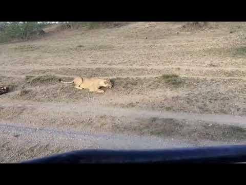 Kuinka selvitä leijonien kynsistä – Näyttele kuollutta