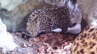 Check out this very special footage of Amur Leopard cubs in a small cave. Berry, our Amur leopard mother, was spotted guarding the entrance.