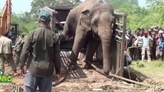 Video Successfully Trans locating An Aggressive Elephant ! MP3, 3GP, MP4, WEBM, AVI, FLV September 2017