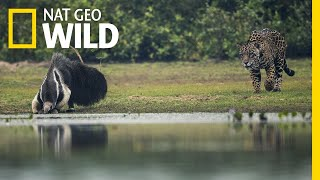 Jaguar and Giant Anteater Standoff Ends With a Twist | Nat Geo Wild by Nat Geo WILD