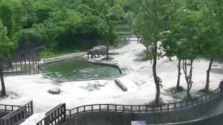 溺れた子ゾウを救うべく、大人ゾウたちが…このチームワークは凄い!!