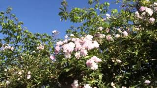 #958 Die Englische Ramblerrose Pauls Himalayan Musk