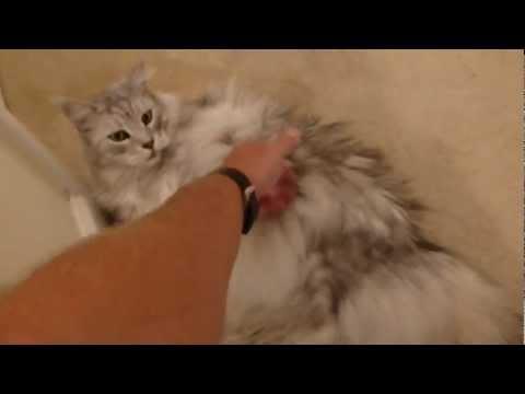 Gato parlanchín