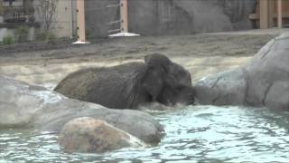 Cleveland Metroparks Zoo's 29-year-old African elephant Shenga went swimming in the North Pool at African Elephant Crossing shortly after the exhibit opened ...