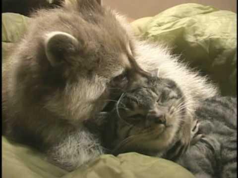 un gatto e un procione possono essere amici?