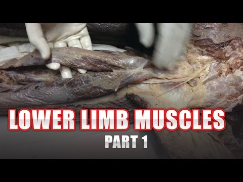 Dr. Ahmad AlZini - lower limb muscles part 1 | د. احمد الزيني