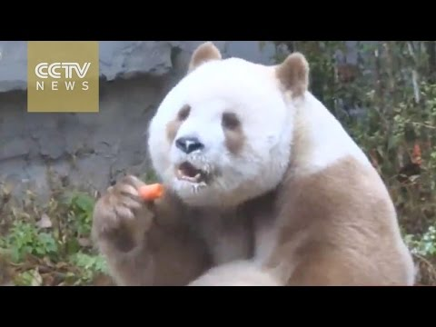 Rare brown panda enjoys winter in Shaanxi Province