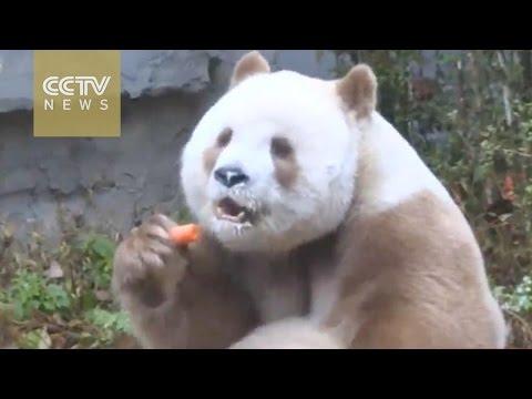Rare brown panda enjoys winter in Shaanxi Province