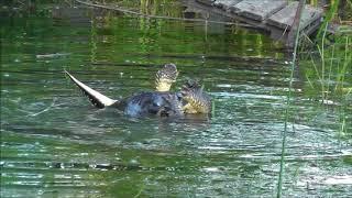 Video River Otter vs Snapping Turtle (warning...disturbing content) MP3, 3GP, MP4, WEBM, AVI, FLV Desember 2018