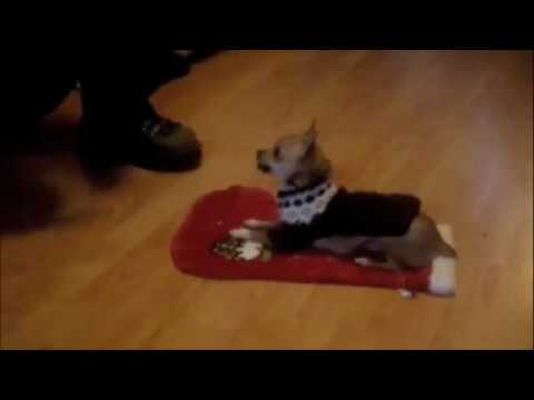 teacup Chihuahua   talented dog , doing tricks