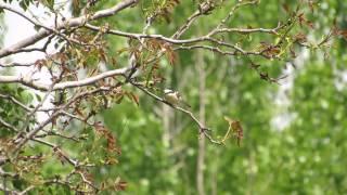 Video Lanius nubicus en Mélida, río Aragón, Nafarroa. 13 de abril de 2014 MP3, 3GP, MP4, WEBM, AVI, FLV Agustus 2018