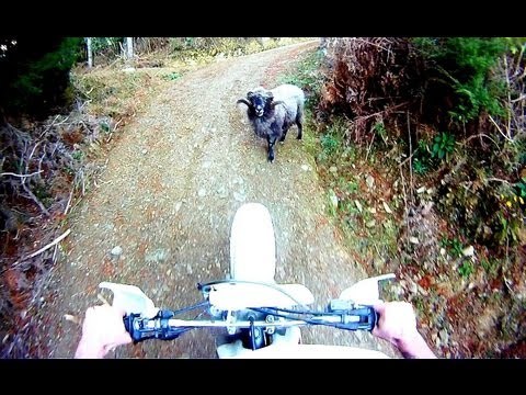 Angry ram attacks motorcyclist for invading his turf