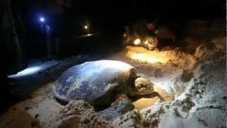 Your gift of $50 will cover one days' expenses to protect one of the most important sea turtle nesting beaches in the world:...