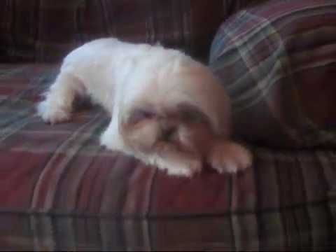 Look at CC Shih tzu puppies bred for HEALTH
