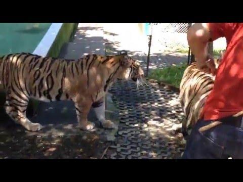 Tiger Kingdom, Chiang Mai. Por Andrea Varas (7,8)