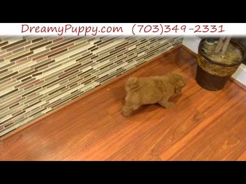 Adorable Miniature Poodle Male Puppy 2