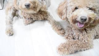 Amber Toy Poodle - Gucci&Hugo's Intensive Training