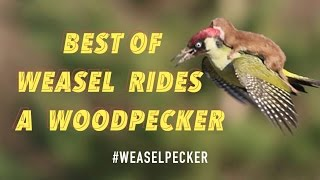 http://www.viralquickies.comA weasel jumps on the back of a woodpecker and the photo goes viral. This is the best of a weasel riding a woodpecker pics to date.https://www.facebook.com/viralquickiespagehttp://www.twitter.com/viralquickiesVisit our blog: http://viralquickies.blogspot.com  Viral Quickies backup channel: http://www.youtube.com/user/ViralQuickiesVideosOfficial Site: http://www.viralquickies.com