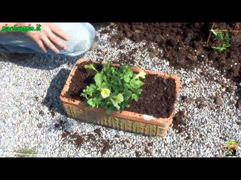 come coltivare le surfinie sui balconi