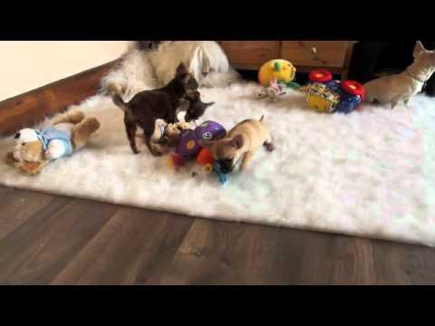 Chihuahua Puppies Playing