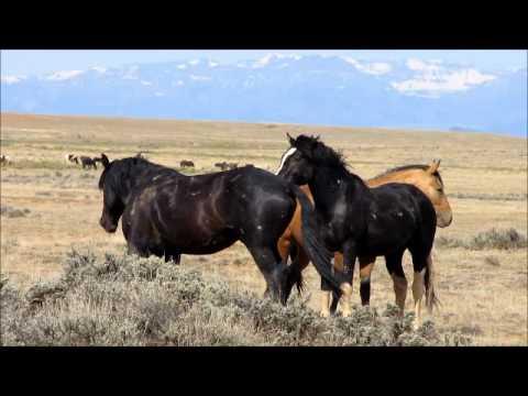 Wild Stallions fighting 2