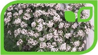 Viburnum tinus blüht