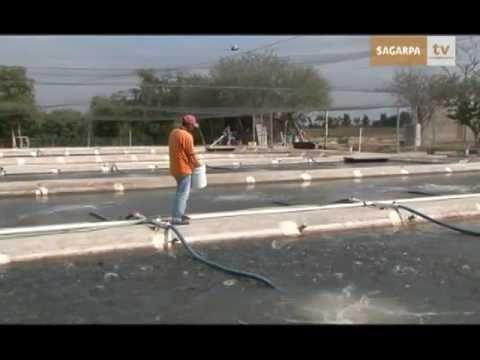 Cria de tilapia videos videos relacionados con cria de for Engorda de tilapia en estanques rusticos