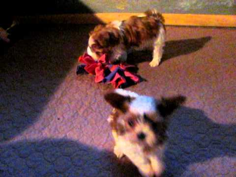 shorkie babies love to play