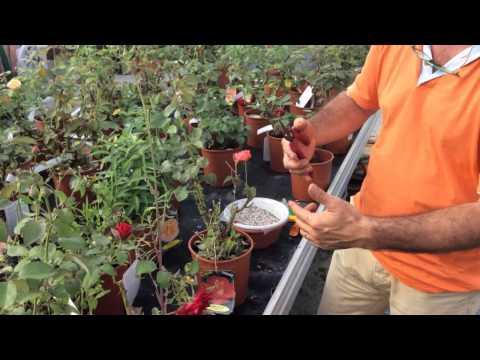 rose, ecco come proteggerle da funghi e parassiti