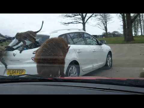Roaming Animals. Knowsley Safari Zoological Park. Liverpool, UK