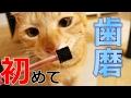 茶トラ猫に初めて歯磨きさせてみた結果。【トーラス 歯垢トルトル ヨコヨコ 回転歯ブラシ】【ドギーマン NEW歯みがきジェル】